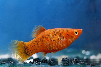 """Platy """"Red Calico"""", lg (Xiph. mac., spec. Gold Calico)"""