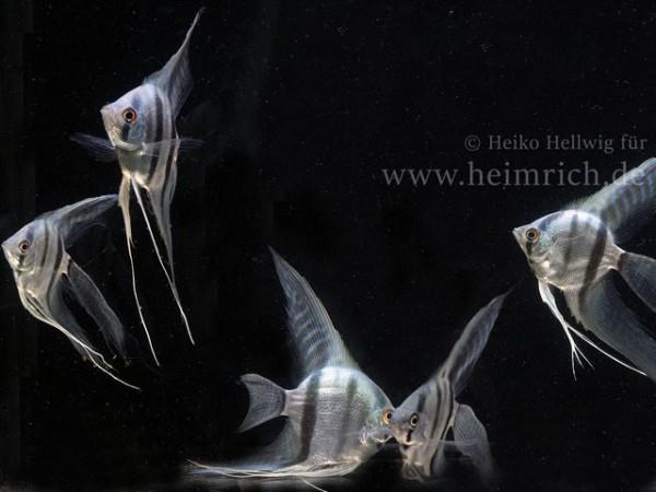 Skalare spec. Blaue Lagune - 5er-Zuchtgruppe (Pterophyllum spec.)
