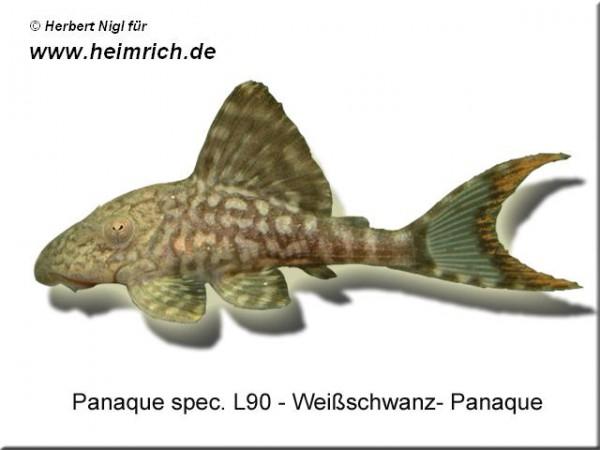 "L90 Panaque spec. ""Weißschwanz-Panaque"""