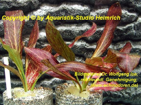Echinodorus 'Red Flame'