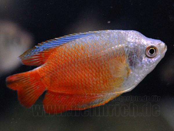 "Zwergfadenfisch ""Royal Red"", lg (Colisa lalia)"
