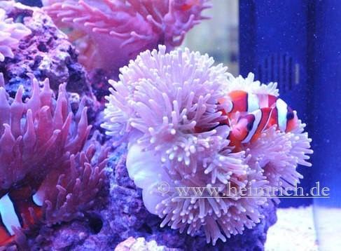 Heteractis magnifica, med (Ritteri anemone)