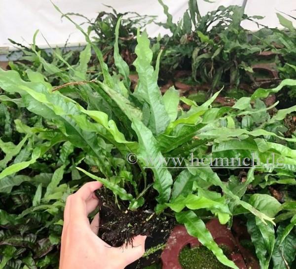 Microsorium pteropus XXL (Mutterpflanze)