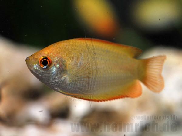 Honiggurami GOLD/ Orange, lg (Colisa chuna GOLD/ Orange)