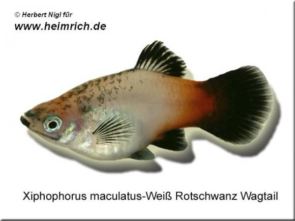 "Platy PREMIUM-""Weiß Rotschwarz Wagtail"", lg (Xiph. mac., spe"