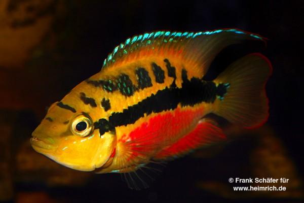 Trichromis salvini XL, male (Salvins Buntbarsch)