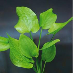 Echinodorus cordifolius (Herzblättrige Schwertpflanze)