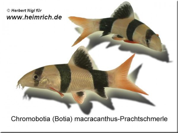 Botia macracanthus (Prachtschmerle)
