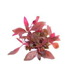 Alternanthera reineckii 'Lila' In-Vitro