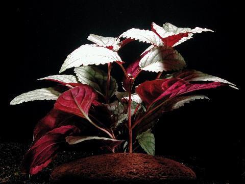 Hemigraphis, spec. Silver leaf (Silberblättriges Noppenblatt)