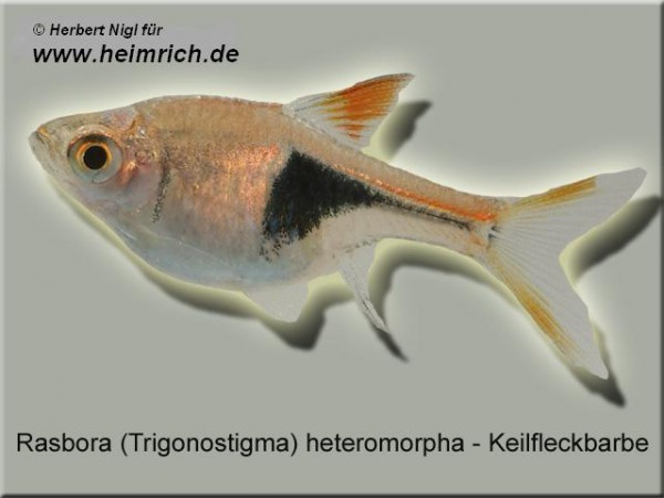 Keilfleckbarbe, lg (Rasbora heteromorpha)