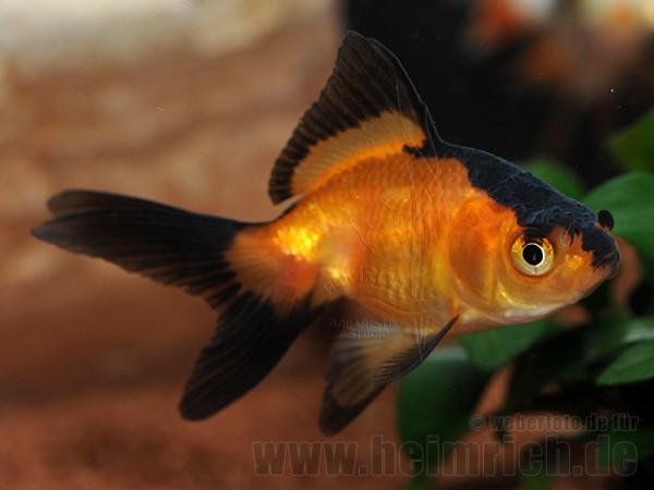 """Schleierschwanz, 6cm """"Rot/ Black Skin"""" (Carrasius auratus)"""