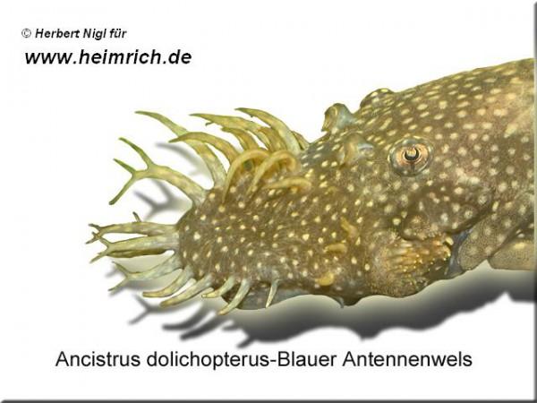 Ancistrus dolichopterus, med (Blauer Antennenwels)