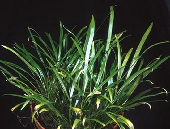 Cryptocoryne crispatula var. flaccidifolia