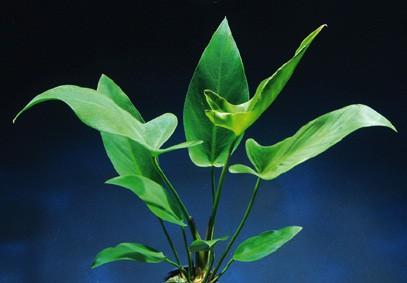 Anubia hastifolia