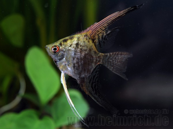 "Skalar ""JAGUAR"" long fin, medium (Pterophyllum Scalare)"