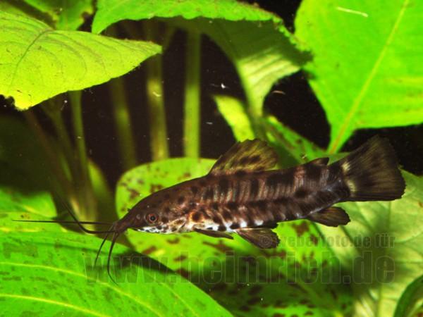 Megalechis thoracata, med (Gemalter Schwielenwels)