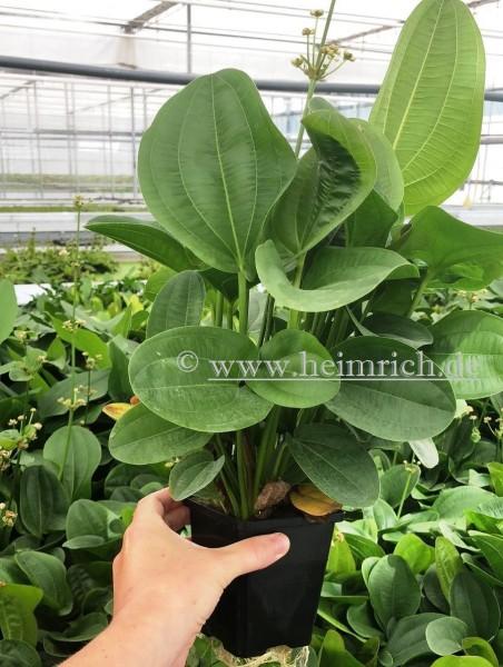 Echinodorus harbig XXL (Mutterpflanze)