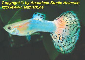 Guppy, Farbschlag Aquamarin Glastail