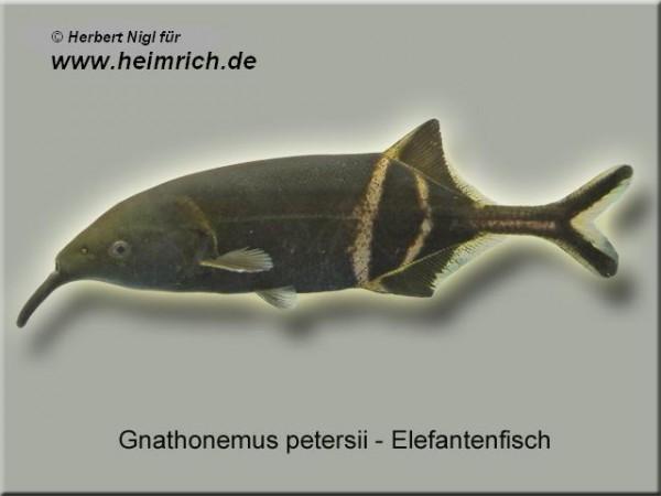 Elefanten-Rüsselfisch (Gnathonemus petersii)