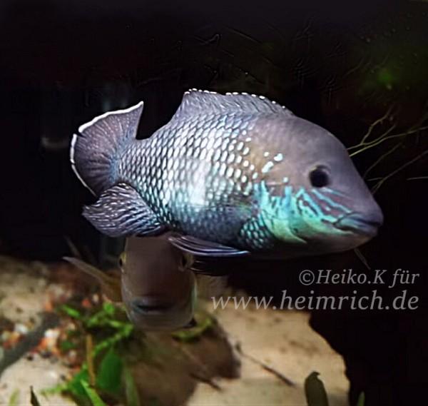 Andinoacara stralsbergi, male (Silbersaumbarsch)