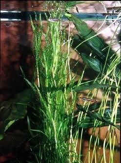 Heteranthera dubia (Schmalblättriges Trugkölbchen)