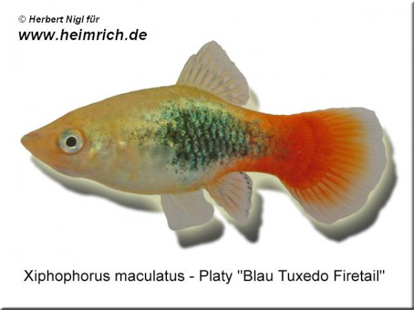 "Platy PREMIUM-""Blue Tuxedo Firetail"", lg (Xiph. mac., spec.)"