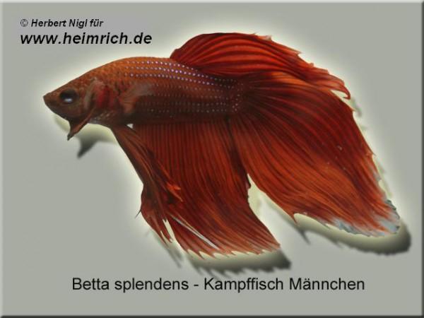 Siamesischer Kampffisch, Dunkel-Rot lg (Betta splendens)