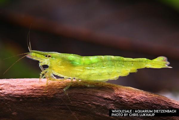 Neocaridina davidi, large (Green Jade Zwerggarnele)