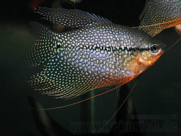 Mosaikfadenfisch, SHOW-Zuchtpaar (Trichogaster leeri)