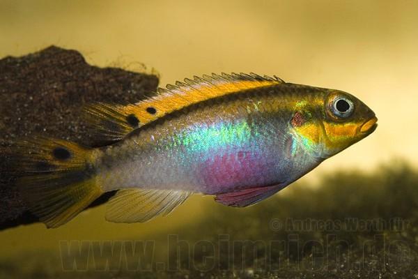 Pelvicachromis taeniatus, Lobe (Smaragdbuntbarsch)