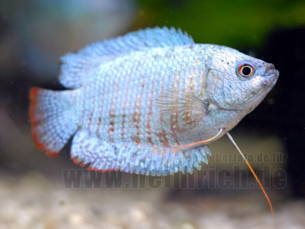 "Zwergfadenfisch ""Cobalt Blue"", lg (Colisa lalia)"