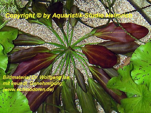 Echinodorus barthii (Barth's-Schwertpflanze)