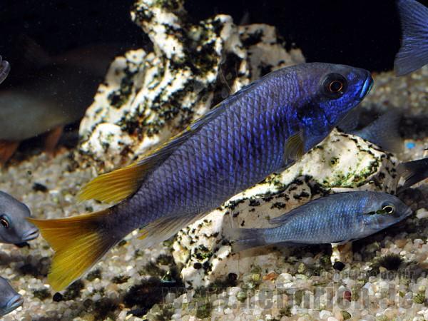 "Pseudotropheus spec. ""Acei"" (Blauer Gelbflossen-Maulbrüter)"