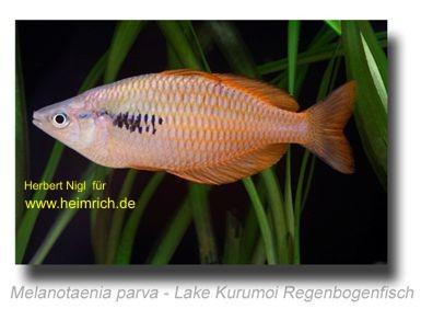 Melanotaenia parva, 5 Stück (Lake Kurumoi Regenbogenfisch)