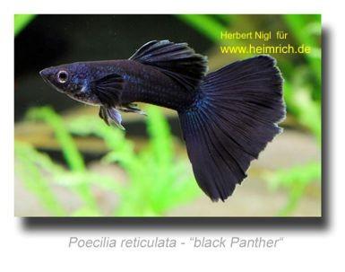 Guppy, Farbschlag 'Black Panther'
