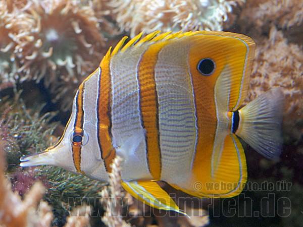 Kupferstreifen-Pinzettfisch, med (Chelmon rostratus)