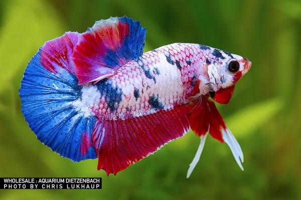 Siam. Kampffisch PREMIUM-Special 'KOI', lg (Betta splendens)