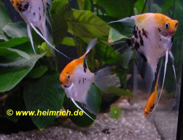 "Skalar Marmor ""Super Red Head"", large (Pterophyllum Scalare)"