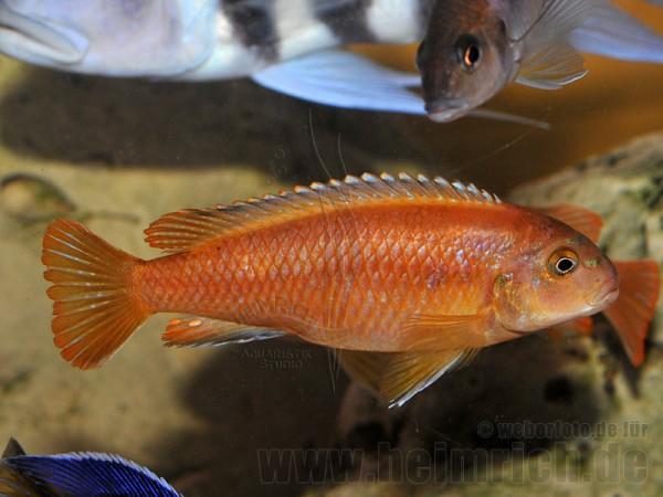 Melanochromis johanni, weibl. XXL