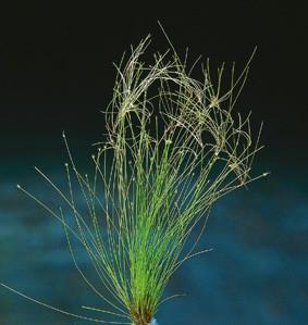 Heleocharis xingu (Große Nadelsimse)