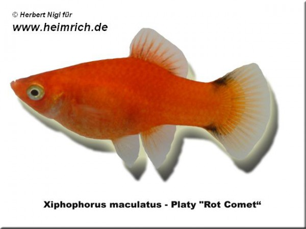 "Platy ""Red Comet"", lg (Xiph. mac., spec. Red Wagtail)"