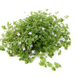Bacopa australis In-Vitro