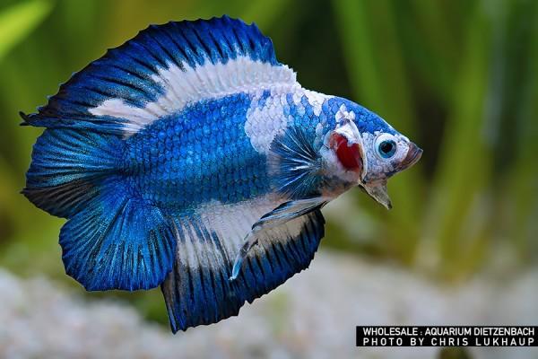 Siam. Kampffisch PREMIUM-Special 'Halfmoon Doubletail', lg (Betta splendens)