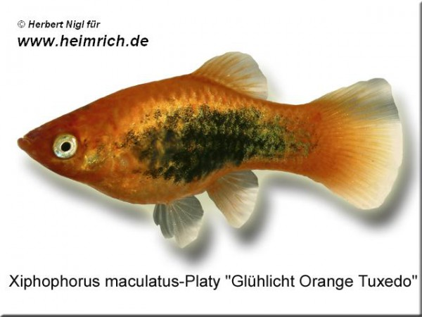 "Platy PREMIUM-""Glühlicht Orange Tuxedo"", lg (Xiph. mac., spec.)"