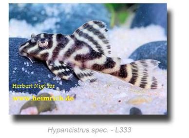 "L333 Hypancistrus spec. ""New Queen Arabesque"" - Zuchtgruppe"