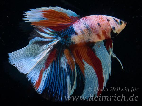 Siam. Kampffisch Half Moon Multicolor, lg (Betta splendens)