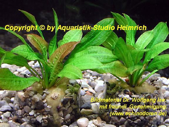 Echinodorus parviflorus 'Tropica'