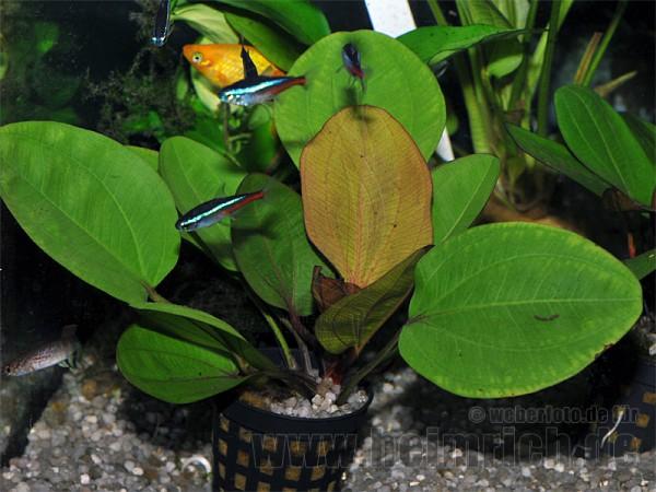 Echinodorus 'BAMBI'