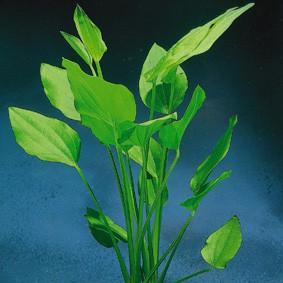 Echinodorus argentiniensis (Argentinische Schwertpflanze)